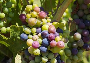 The second appointment of the constituting operating group focused on Apulian organic table grape